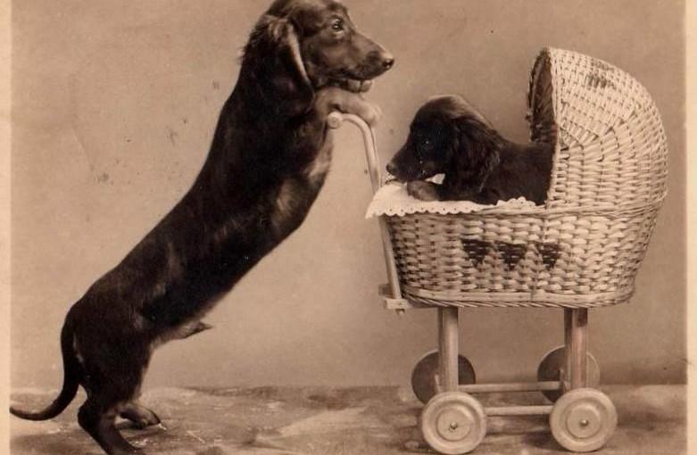 Il cane bassotto, fotografia d'epoca