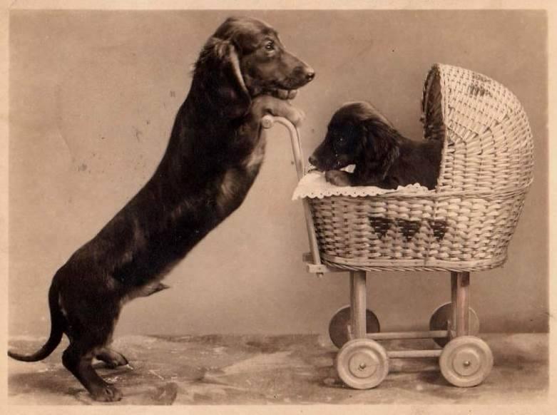 Il cane bassotto. Immagini di carta