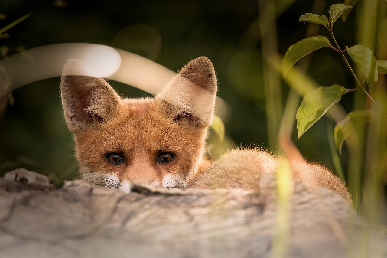 Storia della piccola volpe che mi insegnò il perdono